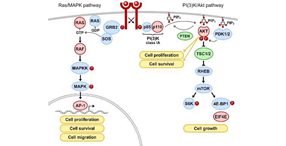 RTK signaling via RAS/MAPK and PI(3)K pathways. Vol. 13, Iss.1, Aberrant Receptor Signaling and Trafficking as Mechanisms in Oncogenesis.
