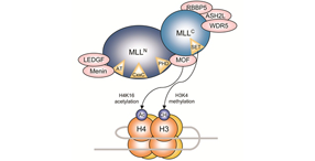 The MLL protein complex.Vol. 15, Iss. 1-2, Structural and Expression Changes of Septins in Myeloid Neoplasia.